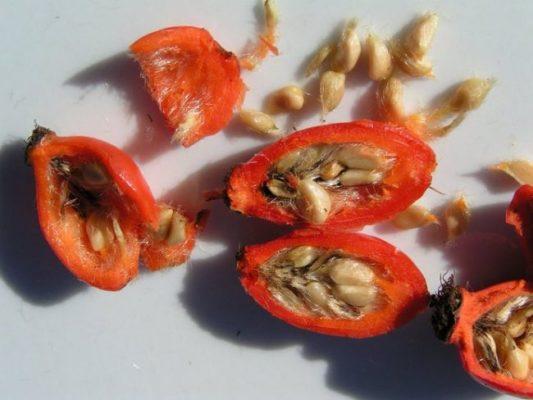 Плоды шиповника в разрезе