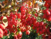 Барбарис привлекателен не только внешним видом, но и отменным вкусом ягод
