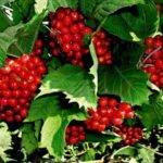 Калина сорта Красная гроздь
