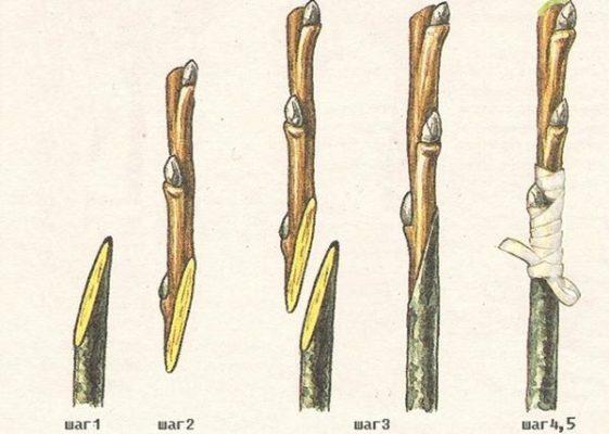 Процесс копулировки шелковицы