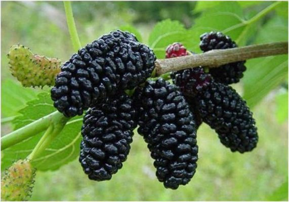 Шелковица чёрная