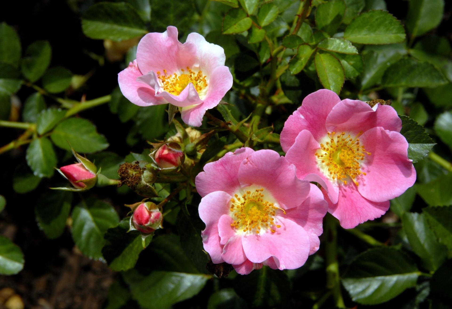 Фото цветка шиповника