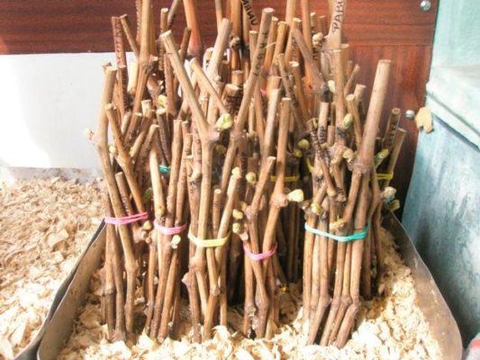 Хранение черенков шелковицы в погребе