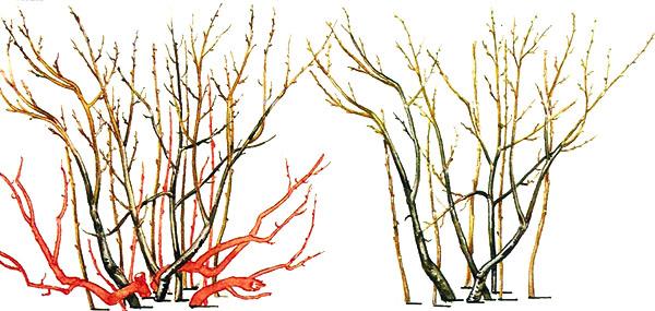 Формирование барбарисового куста для живой изгороди