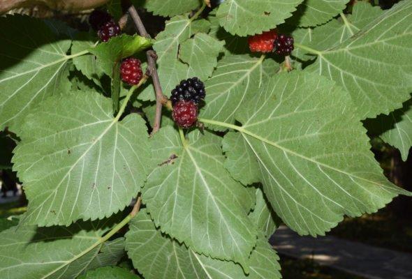 Листья шелковицы чёрной
