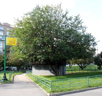 Дерево шелковицы