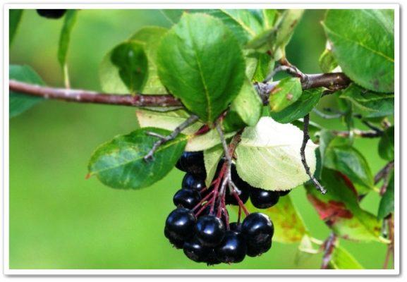 Сорт аронии черноплодной Черноокая