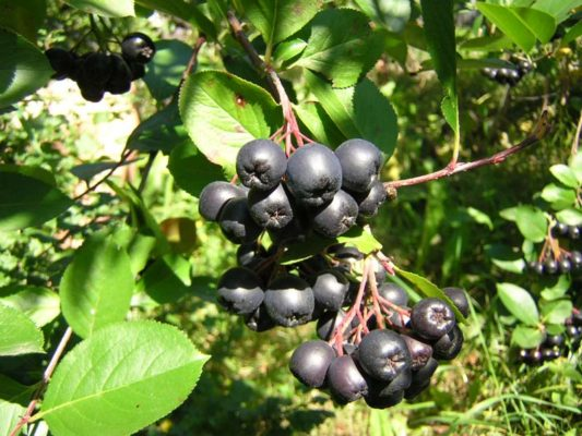 Сорт аронии черноплодная Арон
