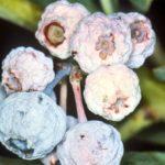 Монилиоз ягод голубики