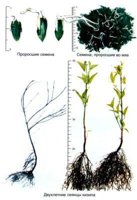 Схема выращивания кизила из косточки
