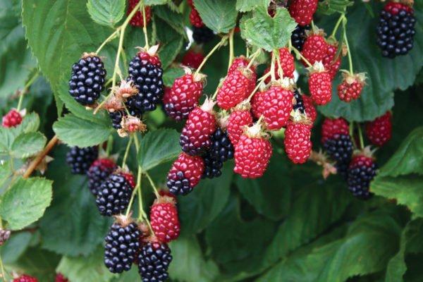 Красные и чёрные ягоды