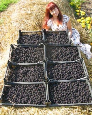 Урожай ежевики