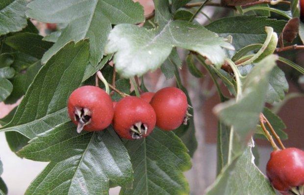 Зрелые плоды сорта боярышника Даурский