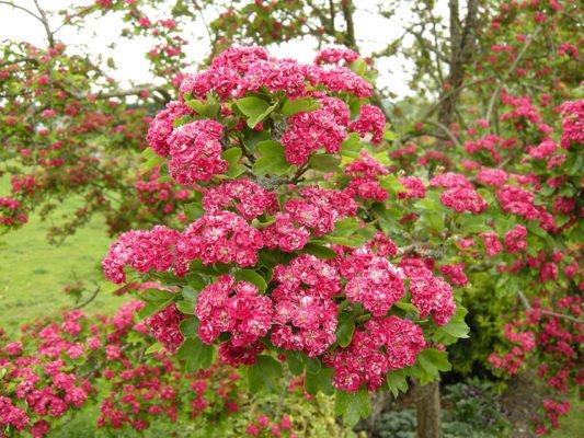 Цветущий боярышник Пауль Скарлетт