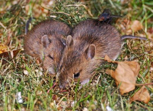 мыши осенью