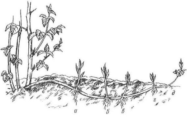 Размножение растения корневыми отпрысками