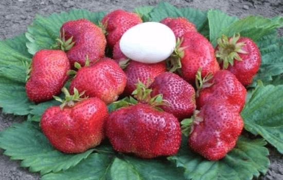 Плоды клубники Гигантелла Макси в сравнении с яйцом
