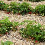 Мульчирование сеном и соломой