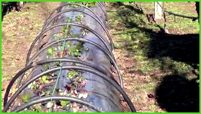 Выращивание земляники под плёнкой