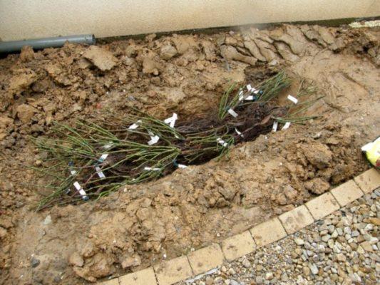 Прикопка саженцев жимолости в саду