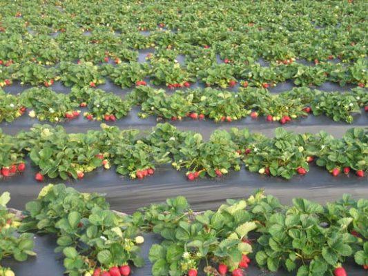 Промышленное выращивание клубники Эльсанта