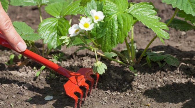 Рыхление почвы на грядке с клубникой