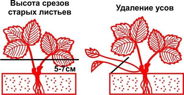 Схема обрезки клубники