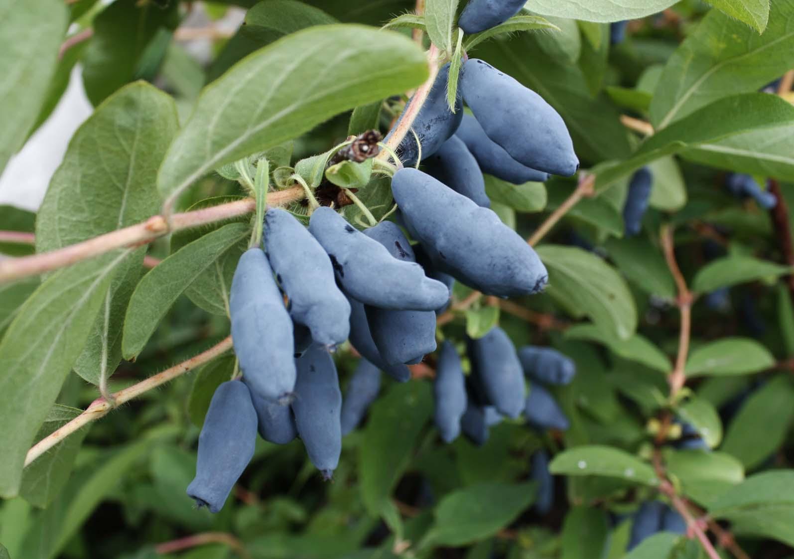 Посадка жимолости саженцами: особенности процедуры весной и осенью