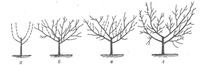 Этапы обрезки шелковицы