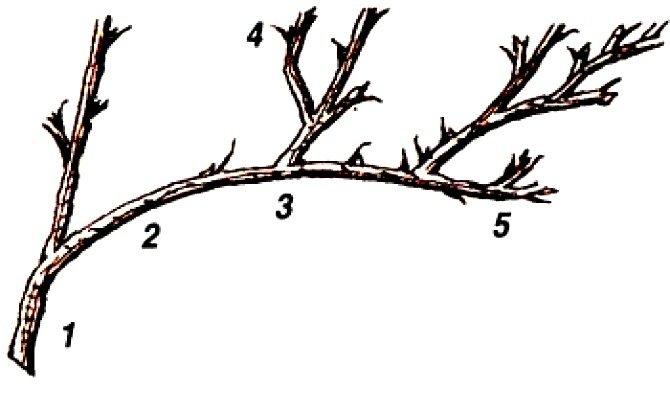 Схема ветвления крыжовника