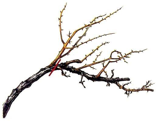 Обрезка засохшей ветви