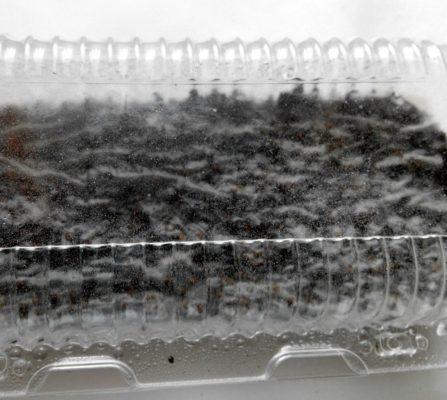 Контейнер с посаженными семенами земляники