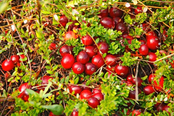 Лучшие сорта крупноплодной клюквы: посадка и уход