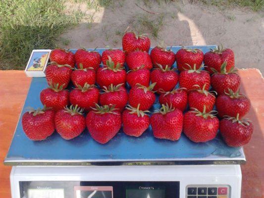 Урожай клубники сорта Дарселект
