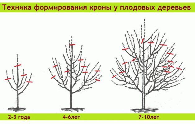 Схема формирования кроны шелковицы