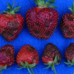 Чёрная пятнистость на ягодах земляники