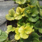 Жёлтые листья клубники