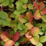 Краснеющие листья клубники