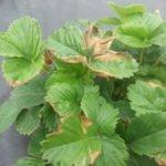 Сохнущие листья клубники
