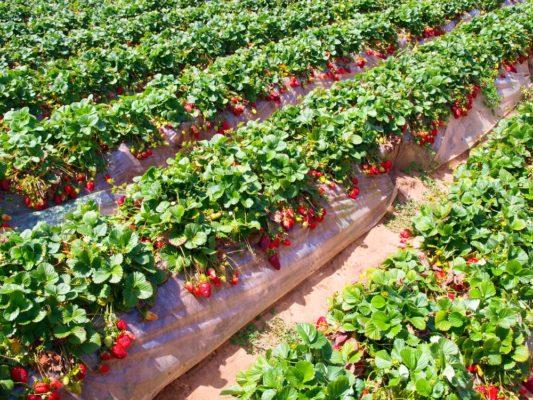 Урожай клубники на грядке