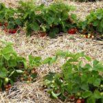 Мульчирование клубники сеном