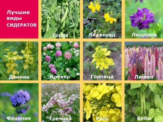 Лучшие виды растений-сидератов