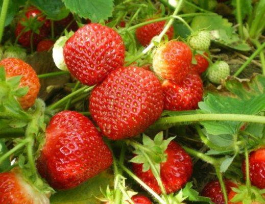Высокоурожайный сорт клубники Кент