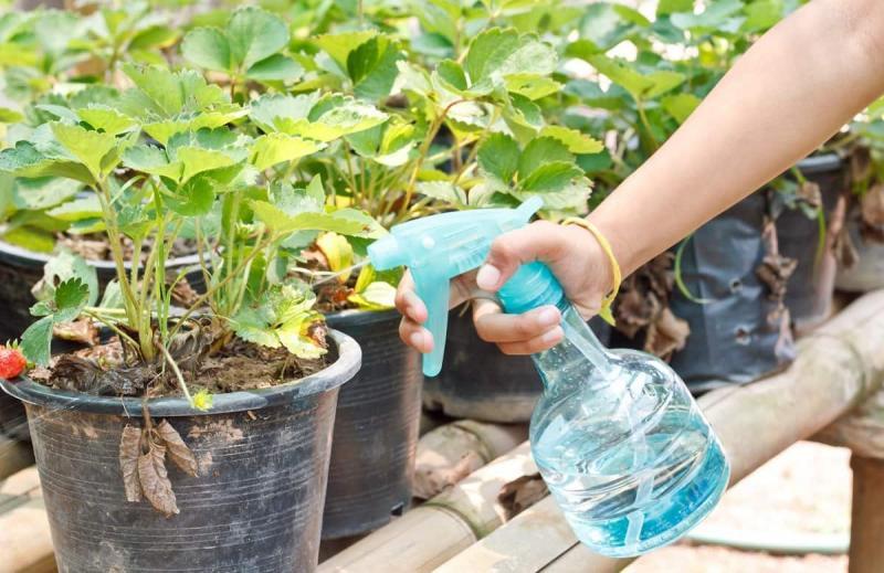 Обработка клубники от болезней и вредителей весной