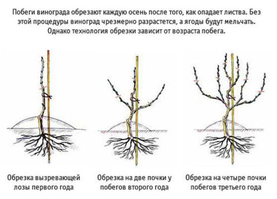 Схема обрезки молодого винограда
