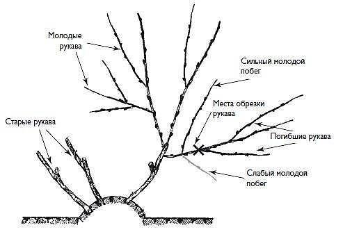 Схема обрезки взрослого растения
