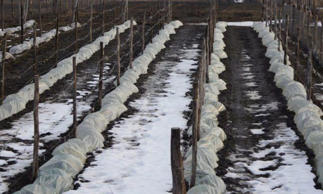 Виноградные лозы весной