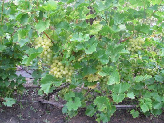 Виноград Аркадия на шпалере