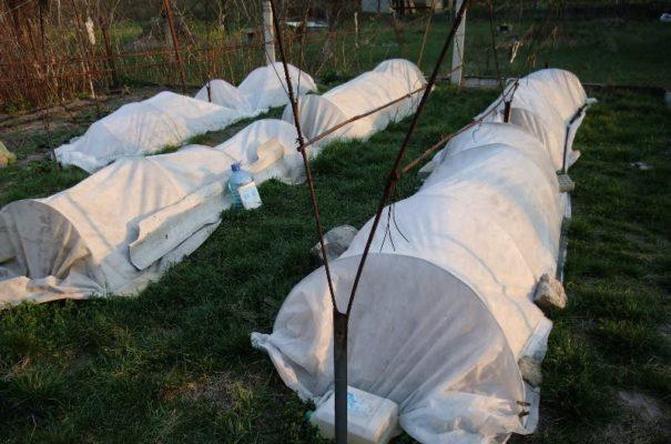 Защищаем виноград от морозов