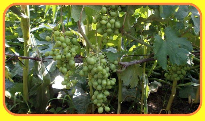 Разновидность сорта винограда Кеша — Кеша 1